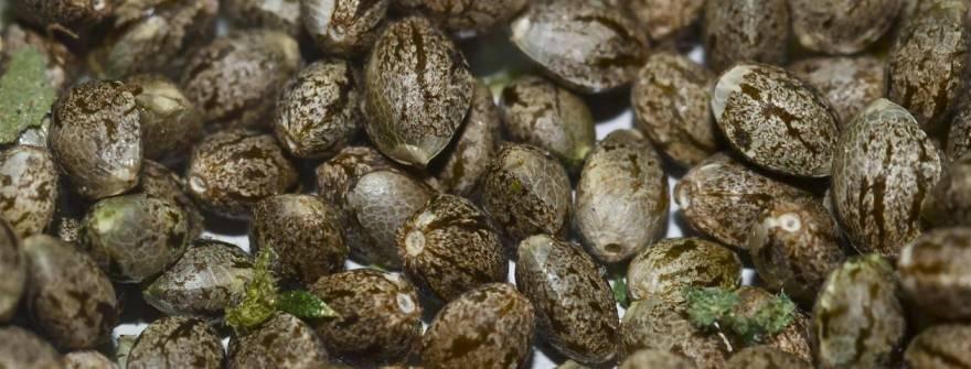 семена конопли фото